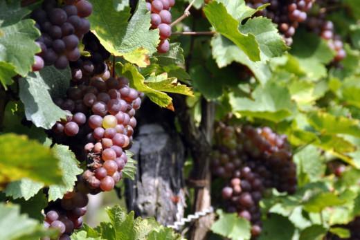 El calor ha adelantado este año el inicio de la recogida de la uva
