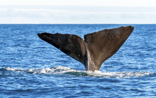 El cachalote o el rorcual común son una de las especies más habituales en el corredor.