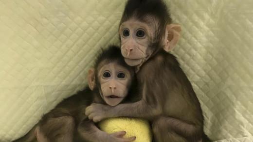 Zhong Zhong y Hua Hua los dos macacos de cola larga clonados.
