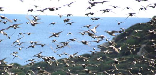 Aves en la Albufera des Grau (Foto: Balears Natura)