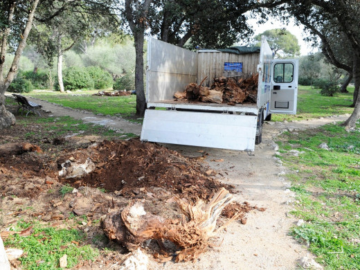 Los pequeños replantan pinos en Sa Garrigueta