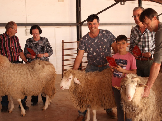 (Fotos) Escogiendo a la mejor oveja de la isla