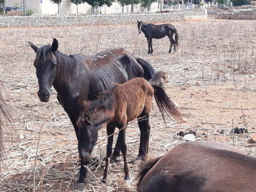 (Fotos) Denuncian ante el Seprona un posible caso de maltrato a caballos en Maó