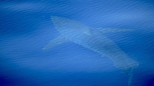 Tiburón blanco de cinco metros.
