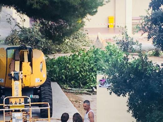 (Fotos) Talan árboles para acometer la ampliación del Joan Ramis