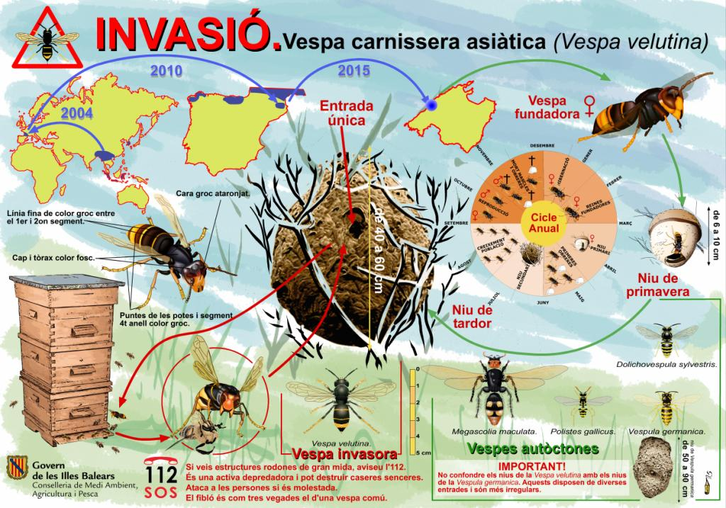 Maó también pretende evitar que la avispa asiática entre en la Isla.