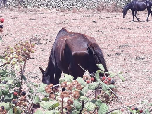 Denuncian el 'mal estado' de los caballos de la calle Vasallo de Maó ante Medi Ambient