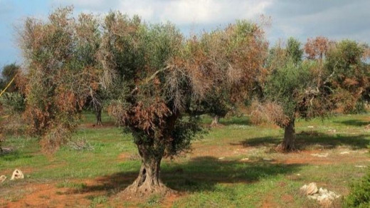 La Xylella afecta ya a 21 especies vegetales