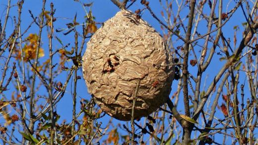 El nido se diferencia del de las avispas locales