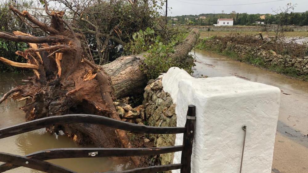 """Uno de los árboles caídos tras el """"cap de fibló"""" (Fotos: Tolo Mercadal)"""
