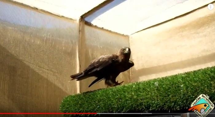 Águila calzada o soter
