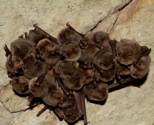 Colonia de murciélagos cavernícolas en Menorca (Foto: IME)