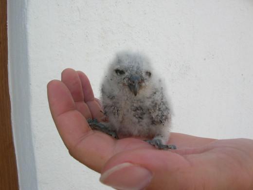 Imagen de un pequeño búho, uno de los animales que puedes apadrinar