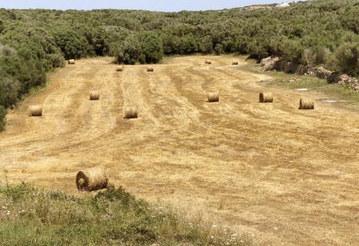 Balas de cebada en Binixica (Foto: Tolo Mercadal)