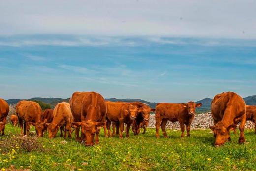 La vaca vermella menorquina es un producto de excelente calidad, tanto su leche como su carne