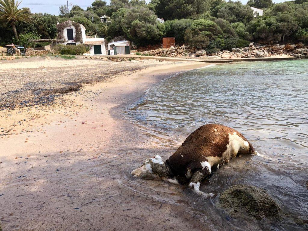 Binisafúa: es la segunda vaca muerta que se halla en la costa de Menorca esta semana. (Foto: Manel)