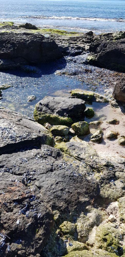 Velella en una playa de la costa sur de la isla