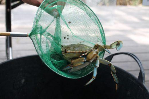 Imagen del cangrejo azul, una de las especias invasoras en Baleares