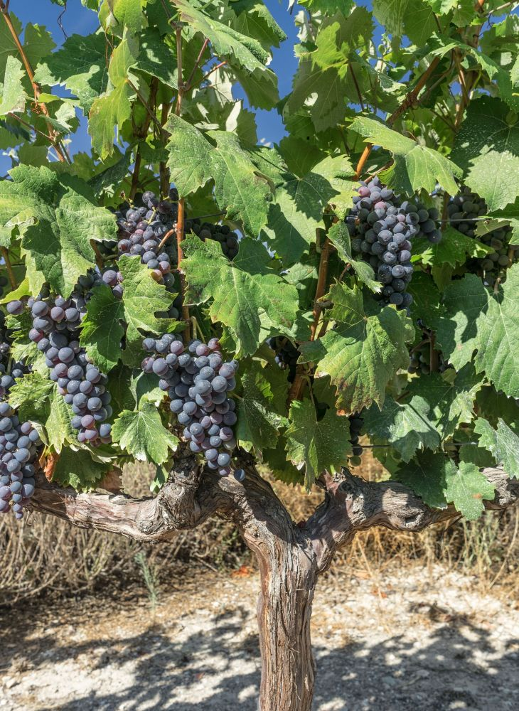 La idea de producir vino atrae a los inversores extranjeros