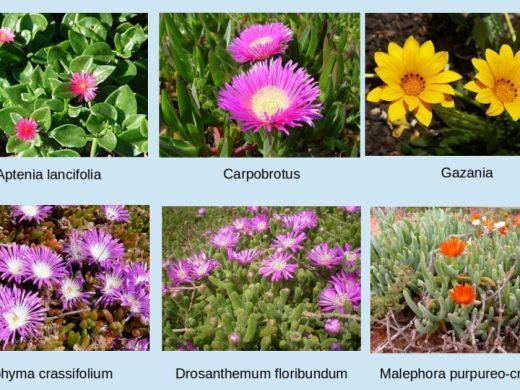 (Fotos) La batalla contra las plantas invasoras en Artrutx