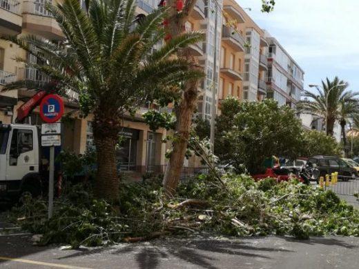 (Fotos) Talan un árbol en Maó tras las quejas vecinales