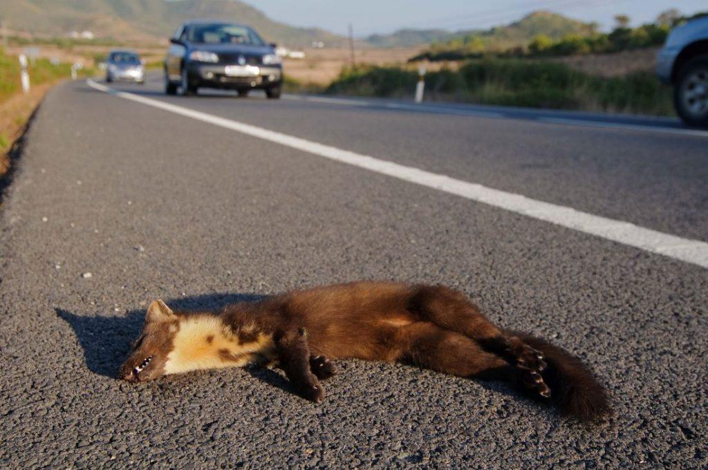 Una marta atropellada en la carretera