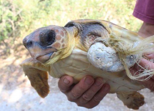 La tortuga será tratada en el Palma Aquarium