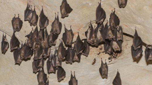 Las escasas colonias de murciélagos existentes sufren constantes molestias por parte de visitantes