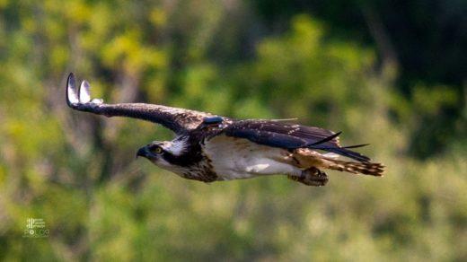 Imagen del águila pescadora captada por Jordi Garcia Polop