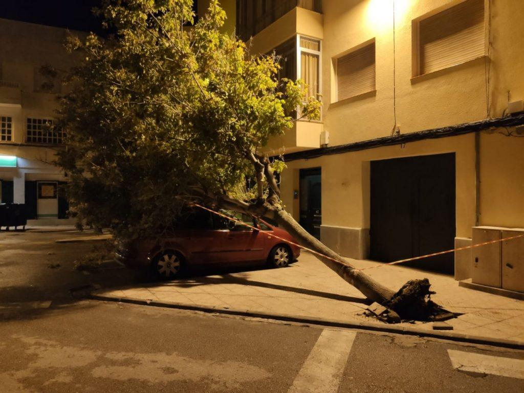 El viento derrribó este árbol en Maó que cayó encima de un vehículo aparcado (Foto: I.M.)