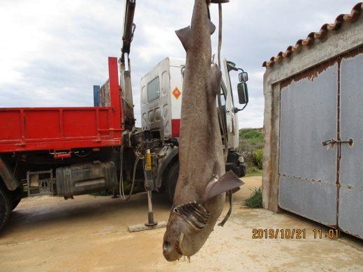 Imagen del tiburón muerto encontrado en el puerto de Maó