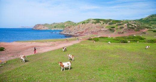 Vacas cerca del mar (Foto: Turisme de Menorca)