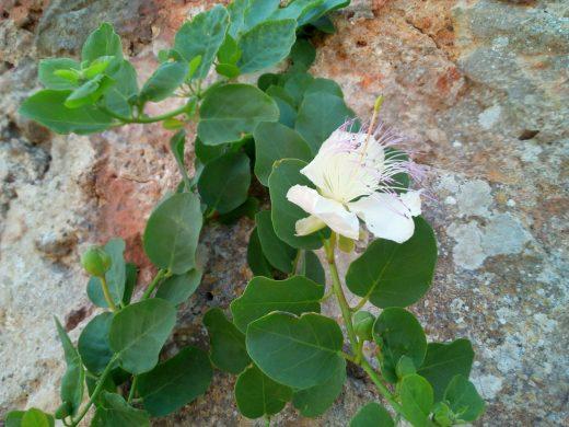 La planta de las alcaparras tiene una bonita flor (Foto: EA)