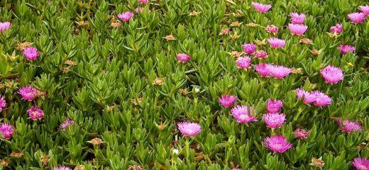 Carpobrotus edulis, planta invasora originaria de Sudáfrica (Foto: Menorca Reserva de Biosfera)