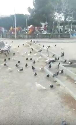 """Las palomas """"invaden"""" la Plaza Esplanada de Maó"""
