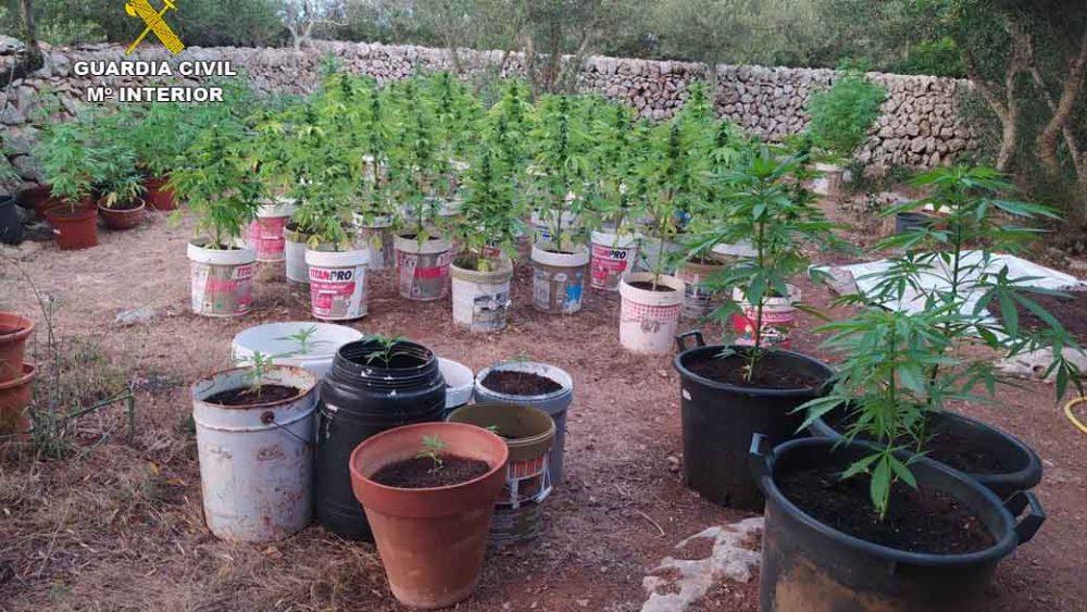 Una muestra de las plantas (Fotos: Guardia Civil)