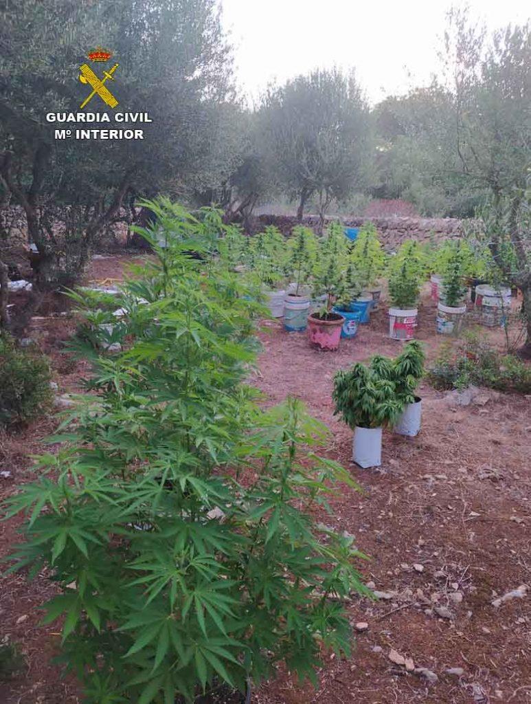 Plantación de marihuana en la Isla.