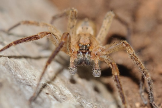 Se han descubierto 116 especies nuevas de arañas en Menorca