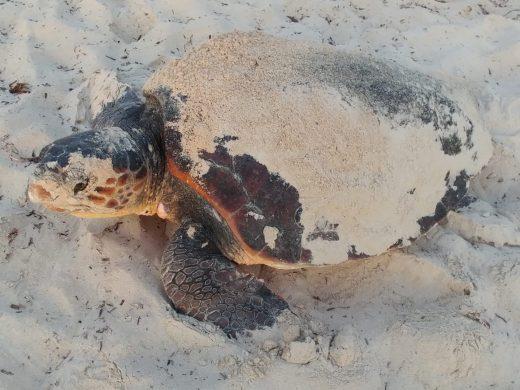 """(Fotos y vídeo) Una tortuga """"boba"""" desova en la playa de Punta Prima"""