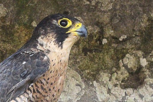 Un halcón en la imagen del GOB Menorca