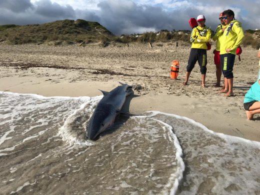 (Fotos) Aparece un tiburón en Son Bou