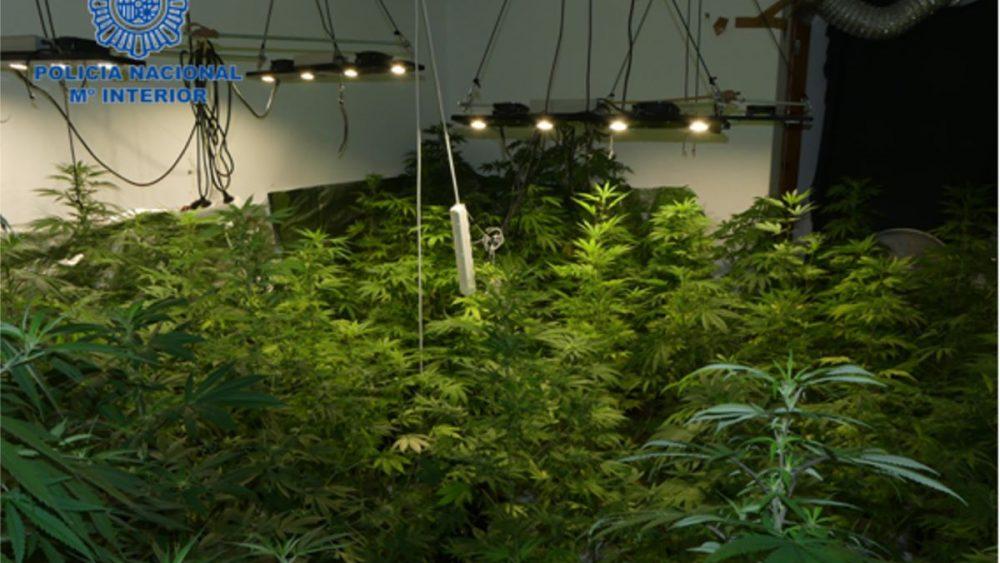 Cultivaba la droga en su casa de Ciutadella (Foto: Policía Nacional)