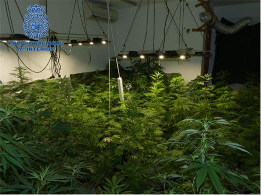 Detenido en Ciutadella un hombre que tenía 135 plantas de marihuana en su domicilio