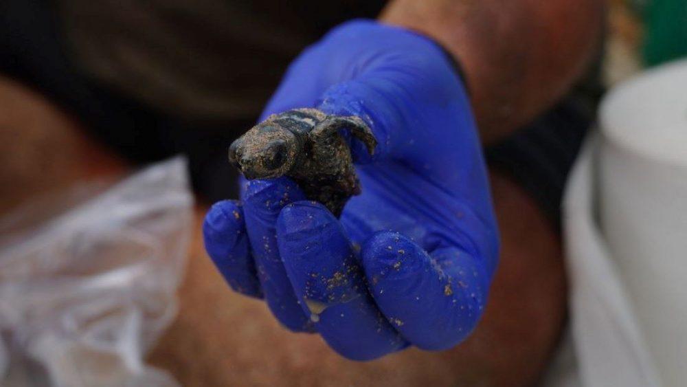 Unas de las últimas tortugas nacidas en Sa Mesquida