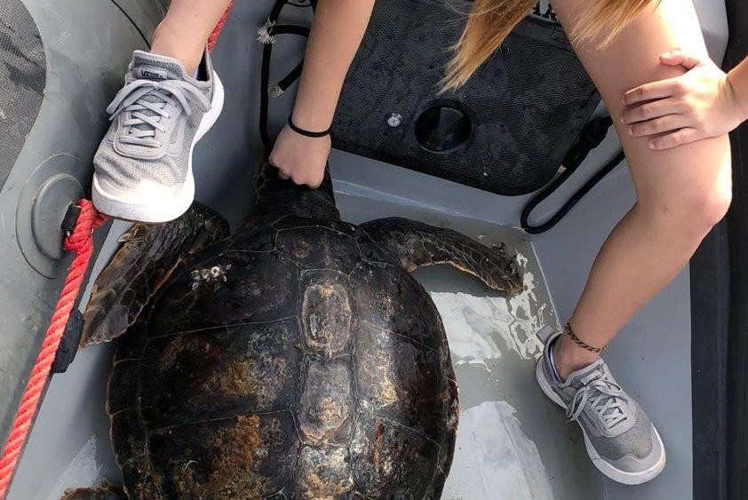 Imagen de la tortuga marina encontrada por los alumnos del Club Náutic de Ciutadella