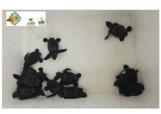 Las nuevas tortugas marinas nacidas en Menorca (Imagen GOB)