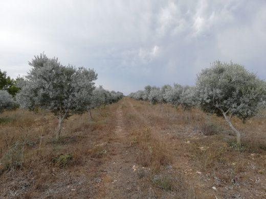 Olivos gestionados de manera ecológica en Morvedra Vell (Foto: GOB Menorca)