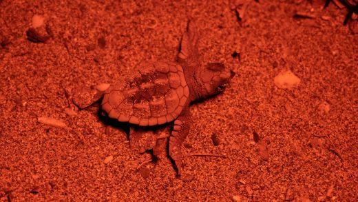 La familia crece en Menorca y las tortugas marinas van saliendo del nido