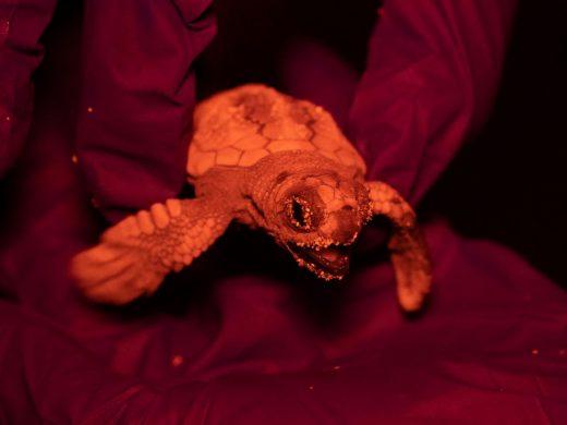 Nace la primera tortuga marina del nido que se encuentra en la playa de Sa Mesquida