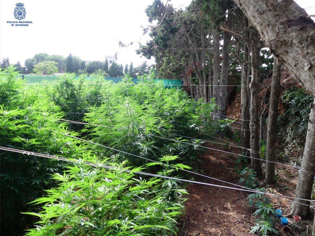 Plantación ilegal.